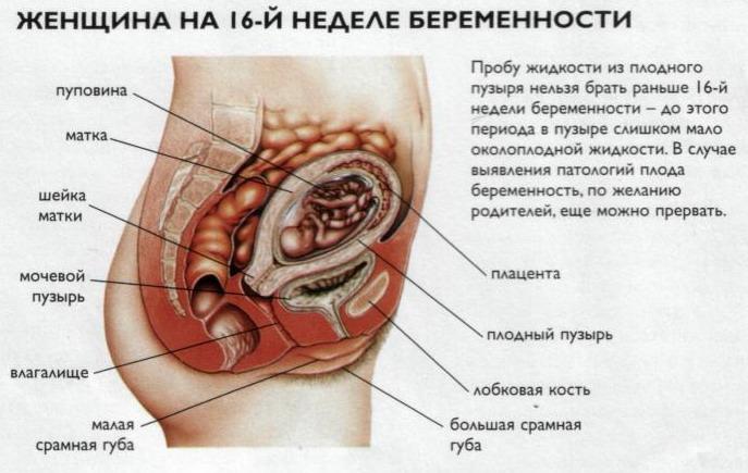 Беременность 16 недель Сайт для мам